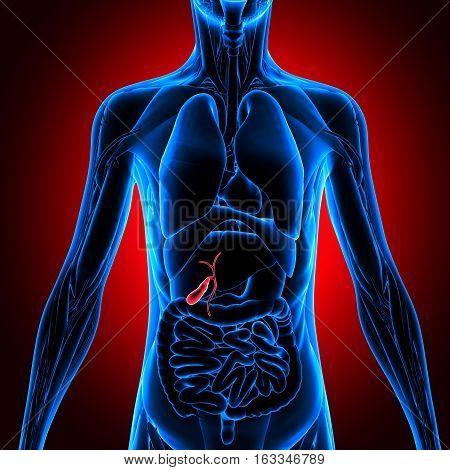 3d illustration human body organs. human body part.
