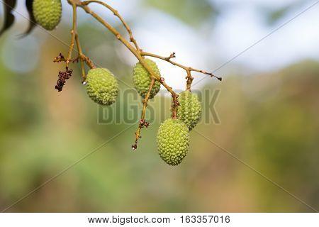 Unripe Exotic Fruit Lychee, Madagascar