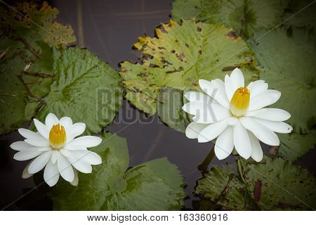 white lotus look breezy in the morning time
