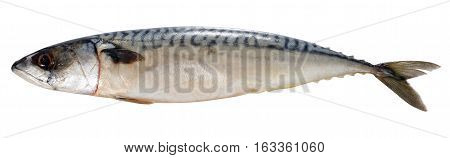 Fresh  Atlantic Mackerel Fish Isolated On White Background