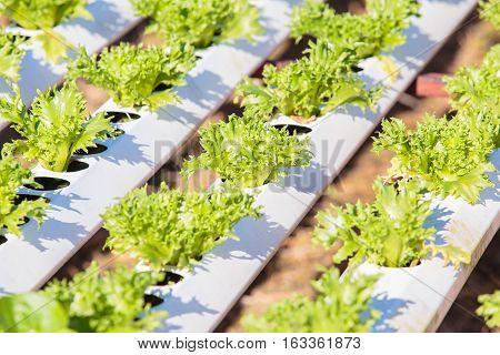Fresh lettuce or vegetable in Organic hydroponic vegetable cultivation farm or plantation.