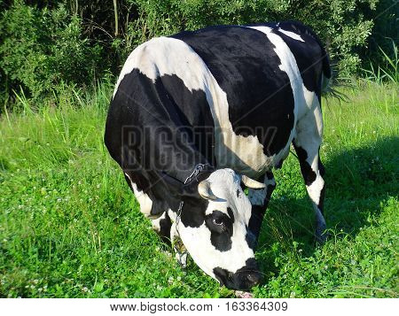 Modern specialized dairy cows Holstein, chornoryaba, red steppe and others have the highest milk production. Grazing cows on polyani- necessary conditions for good milk yield.