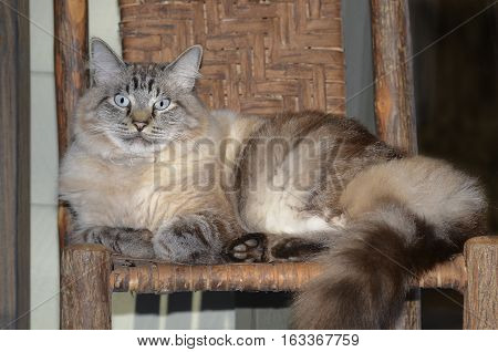 A beautiful blue eyed Siamese Balinese mixed cat lying on a rustic chair with split oak seat and back.