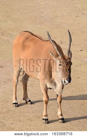 Detail of eland antelope in the zoo