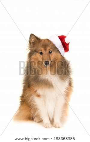 Sitting sheltland sheepdog sheltie facing the camera wearings santa's hat on a white background