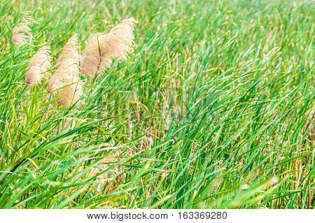 sedge or grass field at lake or swamp.