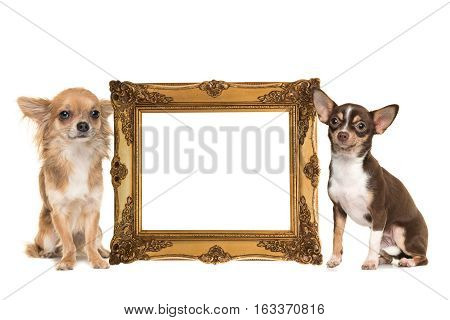 Golden victorian picture frame isolated on a white background with two chihuahua dogs one long hair and one short hair on the side with room for text inside the frame