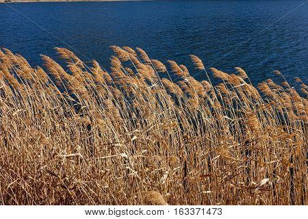 Wild Foxtails Grass Under Sunshine