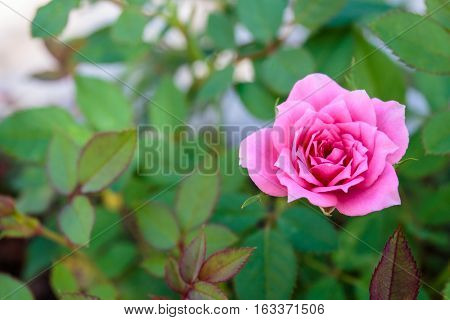 Top view of pink rose with green leaf.