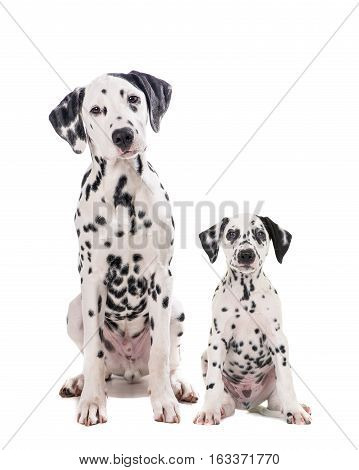 Two cute dalmatian dogs one adult and one puppy sitting and facing the camera isolated on a white background