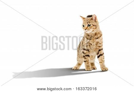 Attractive young cat Scottish Straight with shadow standing isolated on white background