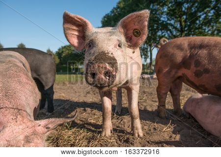 One free range pig with its nose full of mud looking into the camera being outside on a sunny day on a blue sky surrounded with other pigs