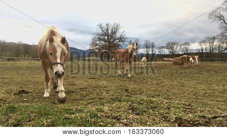 haflinger horses on paddock in bavaria in germany