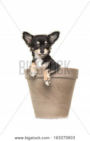 Cute black and white chihuahua puppy in a brown flower pot isolated on a white background