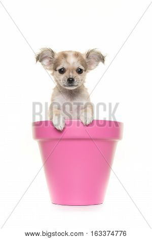 Cute chihuahua puppy in a pink flower pot facing the camera on a white background