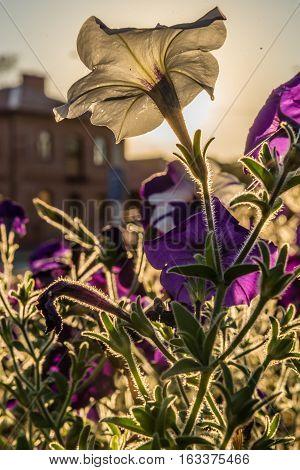 Flowers of white and purple petunias in the sunbeams. Petunia axillaris