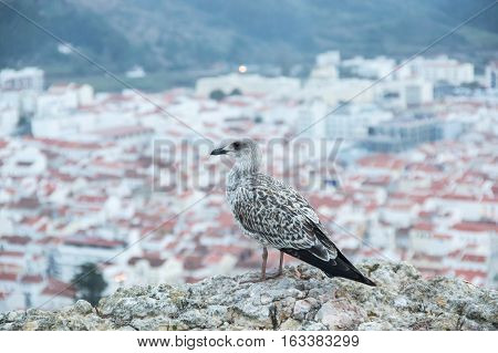 Bird seagull sitting on rocks above the sity of Nazare Portugal