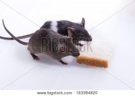 Brattleboro Rat, Lab Rat