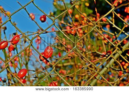 Ripe rosehips on a background of blue sky with a rusty wire fence