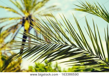 Fragment of a palm's leaf close up with date palms in the background