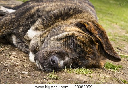 Brindle English Mastiff bitch lay on side on green grass
