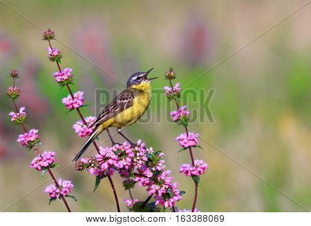 bird the yellow Wagtail sings on a meadow in Sunny summer day