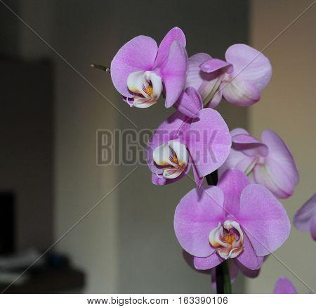 Exotic botany petal phalaenopsis Orchid Phalaenopsis Moth