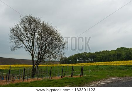 Rural landscape with vine yards and field with rape plants and a tree in foreground in spring in France.