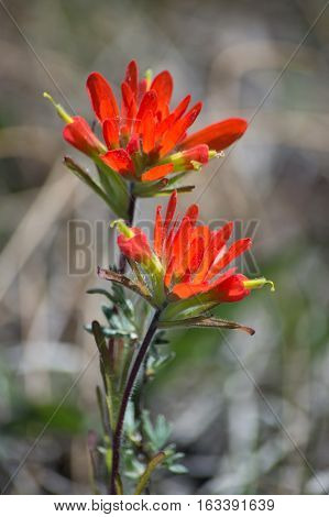 The bright red color of these two wild flowers are vivid against the grey green early spring background