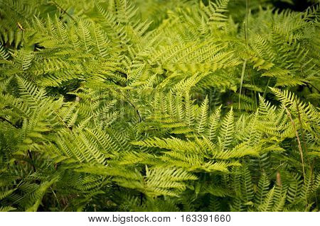 A collection of bright green bracken fern fronds growing in a group
