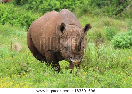 Black Rhino at Addo Elephant National Park - South Africa