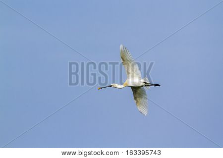 Eurasian spoonbill flying isolated in blue sky ; specie Platalea leucorodia family of Threskiornithidae