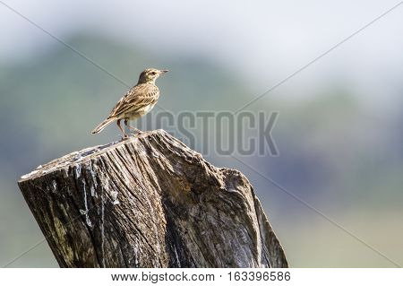 Paddy field pipit in Arugam bay lagoon, Sri Lanka ; specie Anthus rufulus family of Motacillidae