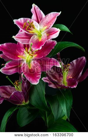 Close-up of pink lily flowers. Zen in the art of flowers. Macro photography of nature.