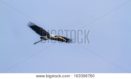 Painted stork flying isolated in blue sky ; specie Mycteria leucocephala family of Ciconiidae