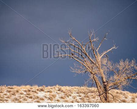 Red Tailed Hawk On Barren Tree In Winter