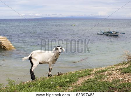White fluffy goat by the sea. Philippines village life on the beach. Lovely domestic animal portrait. Tropical island landscape with turquoise water lagoon ocean horizon cloudy sky and farm animal