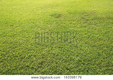 Green field background. Sunny day at the football field. Soccer or golf field surface. Freshly cut green grass texture. Summer natural backdrop. Yellow and green grass for playing