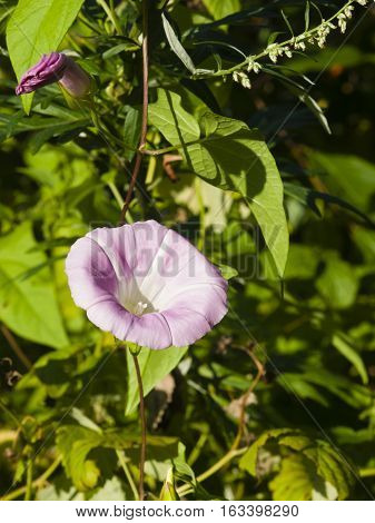 Field Bindweed Convolvulus Arvensis flower close-up selective focus shallow DOF