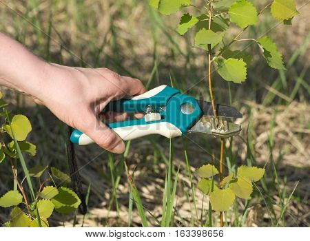 Hand with garden tools Pruning Shears cuts tree branches