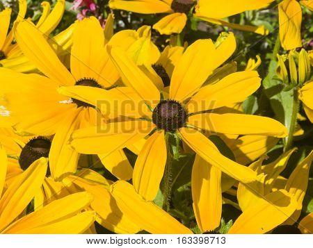 Black Eyed Susan Rudbeckia hirta yellow flowers close-up selective focus shallow DOF