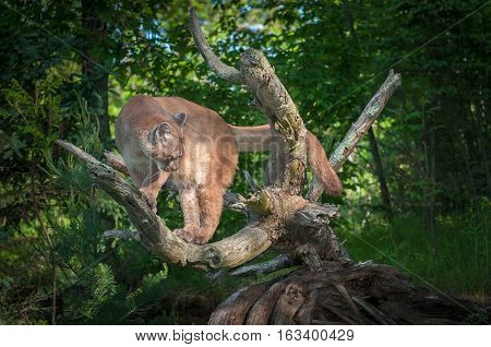 Adult Female Cougar (Puma concolor) Looks Down From Branches - captive animal