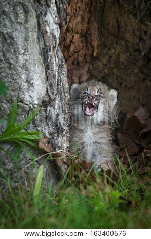 Canada Lynx (Lynx canadensis) Kitten Crying - captive animal