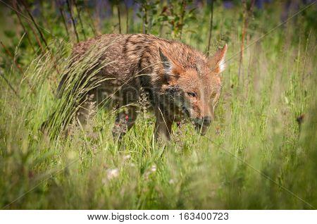 Coyote (Canis latrans) Stalks Through Grass - captive animal
