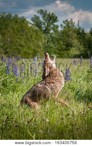 Coyote (Canis latrans) Sits and Howls in Field - captive animal