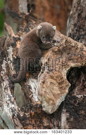 Fisher (Martes pennanti) Kit Hangs On - captive animal