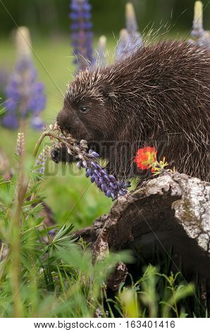 Porcupine (Erethizon dorsatum) Nibbles on Lupin - captive animal