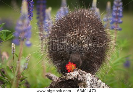 Porcupine (Erethizon dorsatum) Sniffs at Flower - captive animal poster