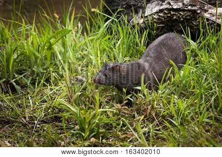 Adult American Mink (Neovison vison) in Grass - captive animal