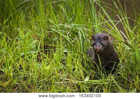 Adult American Mink (Neovison vison) Pops Up From Grass - captive animal